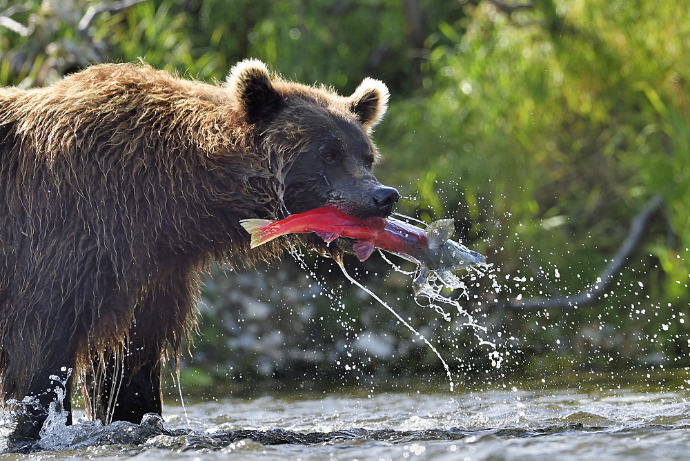 Grizzly catching a salmon in a river, Katmai Alaska
