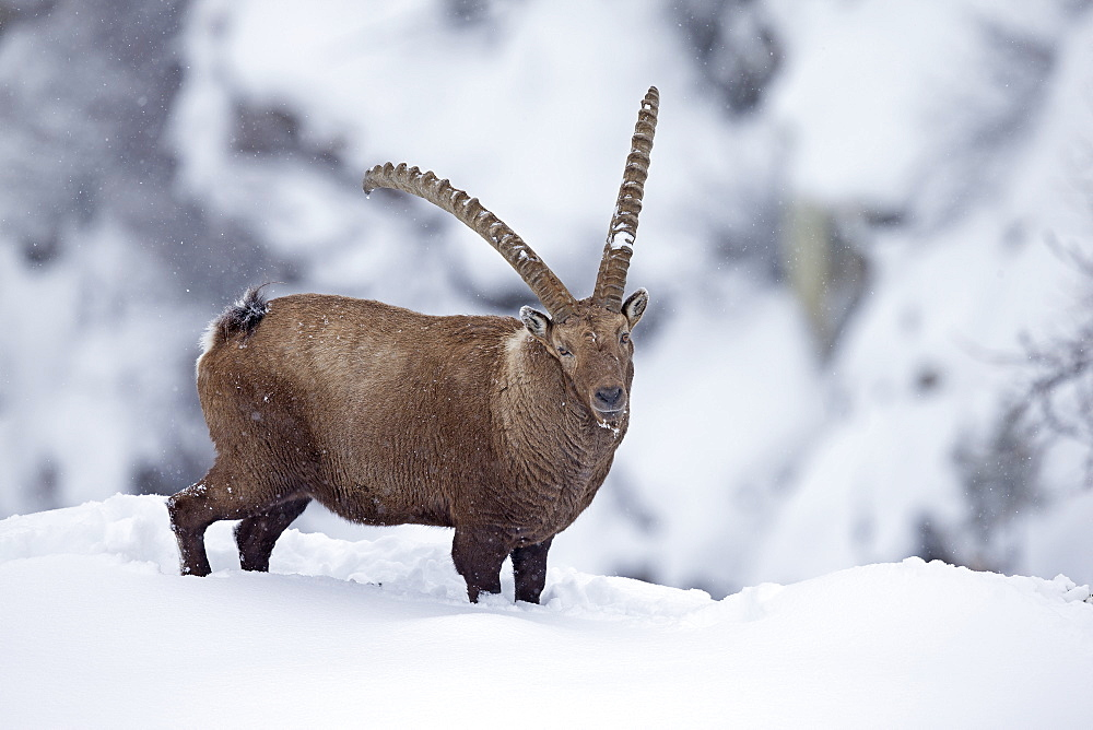 Male Ibex in the snow, Grand Paradisi Alps Italy