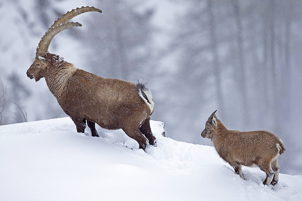 Male Ibex and young in the snow, Grand Paradisi Alps Italy