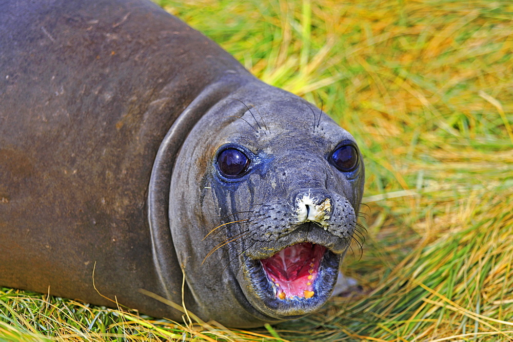 Young Southern elephant seal in tussock, Falkland Islands