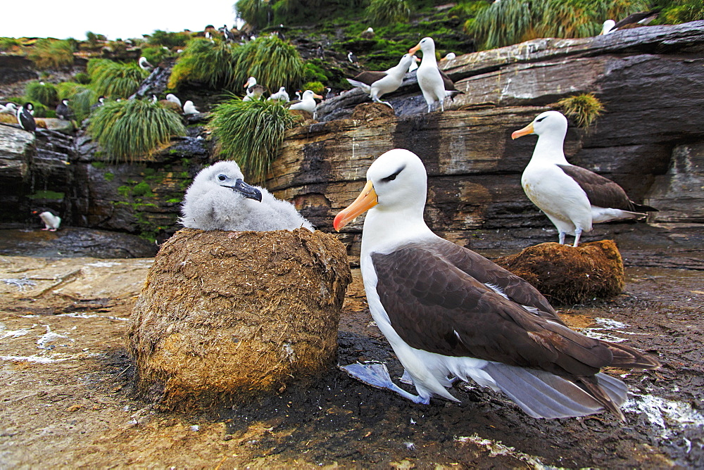 Black-browded Albatros and chick at nest, Falkland Islands