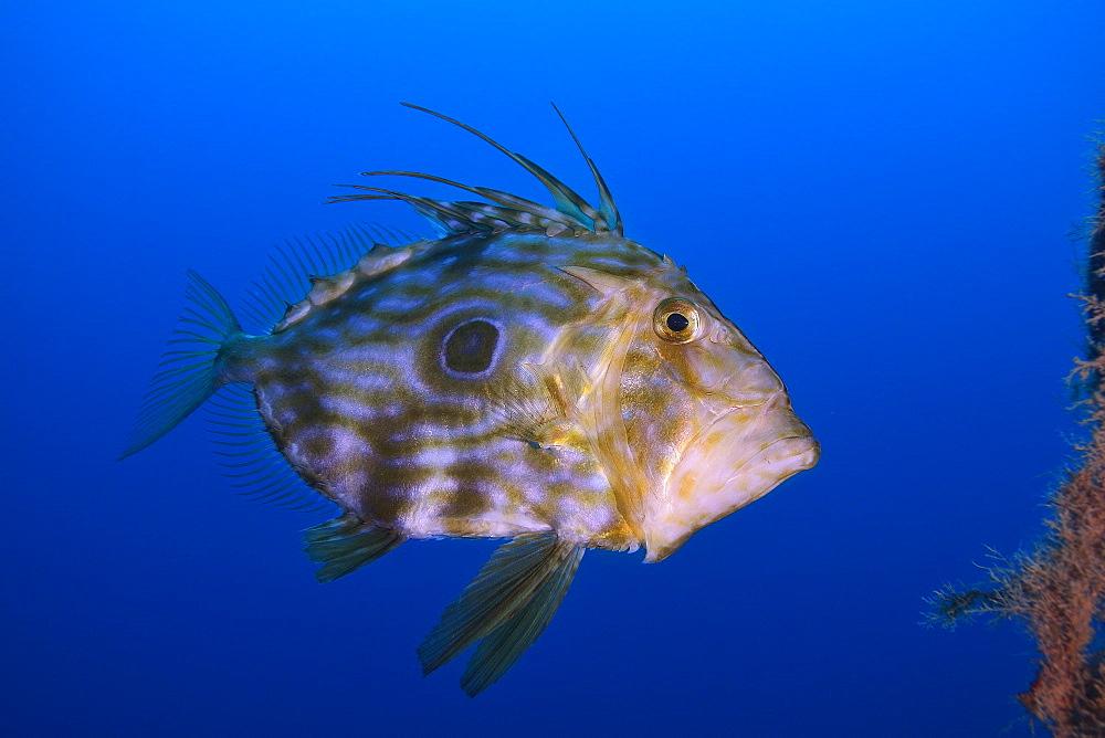 John Dory swimming, Mediterranean Sea