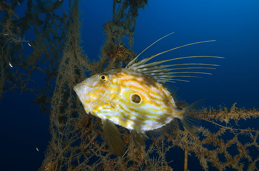 John Dory and abandoned fishing net, Mediterranean Sea