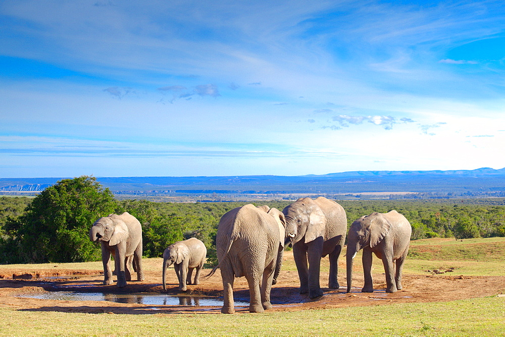 African Elephants at water, Addo Elephant NP South Africa