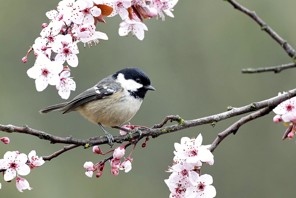 Coal Tit on blossom- Warwickshire England UK
