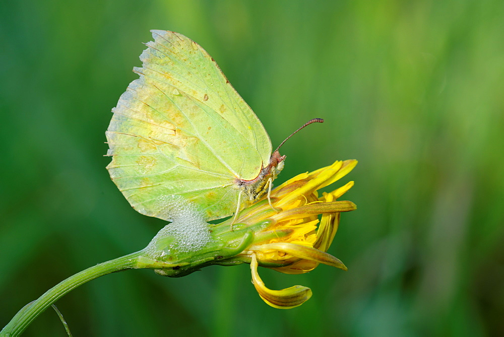 Brimstone on a flower, Prairie Fouzon France