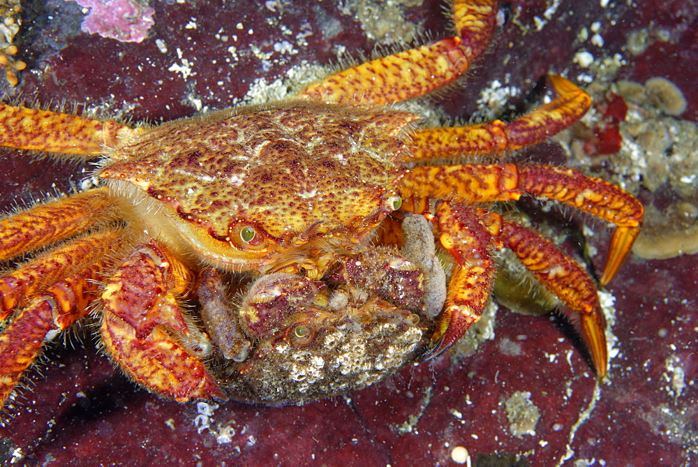 Helmet Crab mating on reef, Pacific Ocean Alaska USA