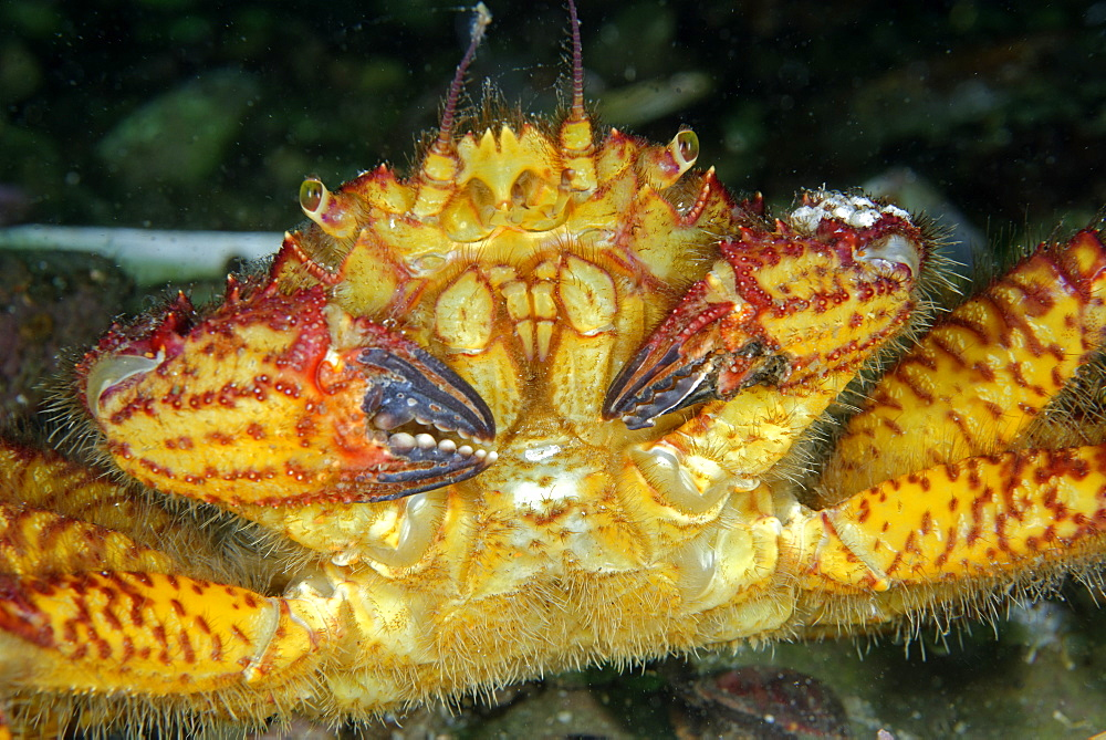 Portrait of Helmet Crab on reef, Pacific Ocean Alaska USA