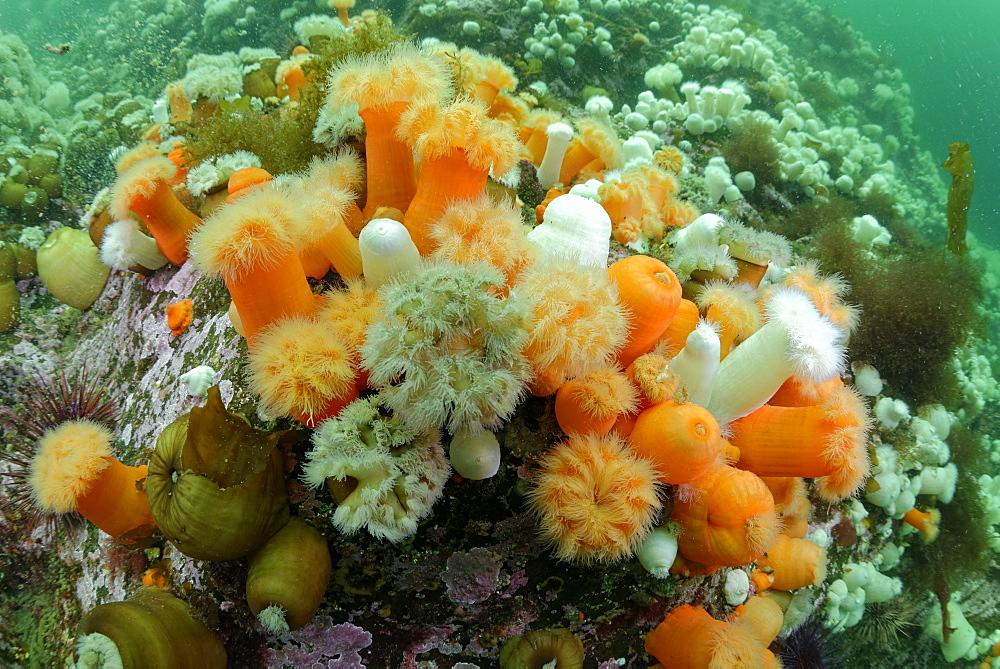 Plumose Anemones on reef, Pacific Ocean Alaska USA