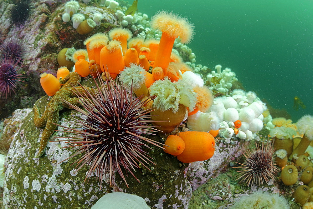 Plumose Anemones and Urchins, Pacific Ocean Alaska