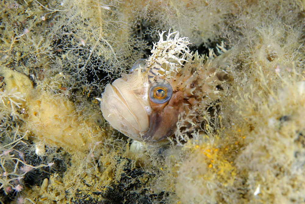 Decorated Warbonnet in reef, Pacific Ocean Alaska