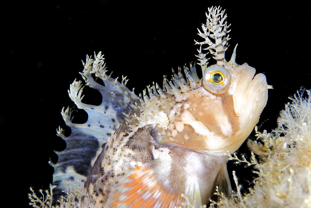 Decorated Warbonnet on reef, Pacific Ocean Alaska