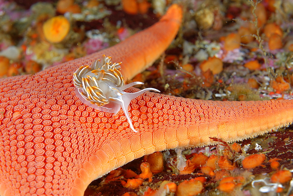 Opalescent Nudibranch on Sea Star, Alaska Pacific Ocean