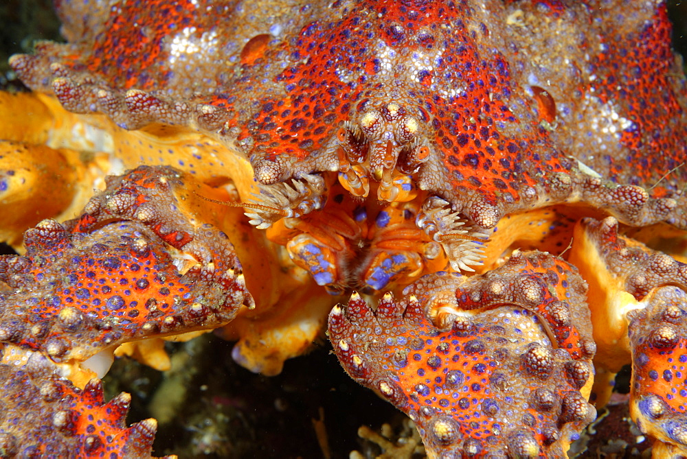 Portrait of Puget Sound king crab, Alaska Pacific Ocean