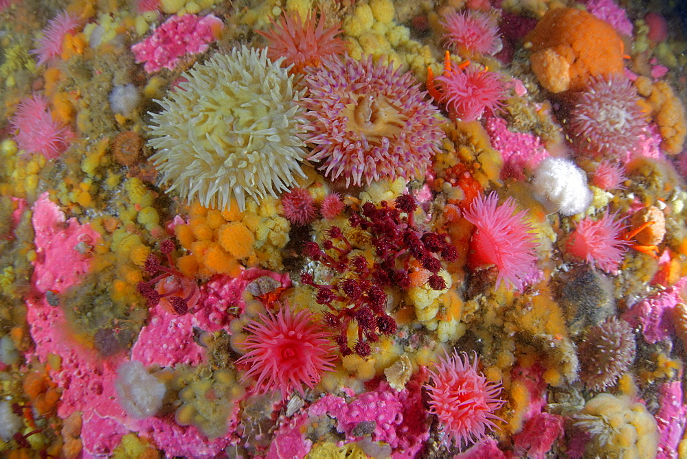 Sea anemones and Sponges on the reef, Alaska Pacific Ocean