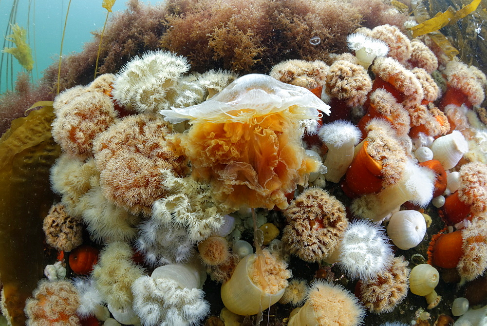 Lion's mane jellyfish and Plumose Anemones, Alaska