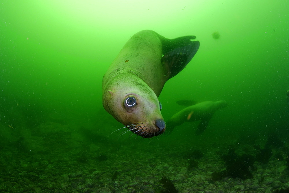 Steller sea lion underwater, Kasaan bay Alaska