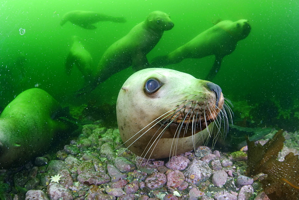 Steller sea lions underwater, Kasaan bay Alaska