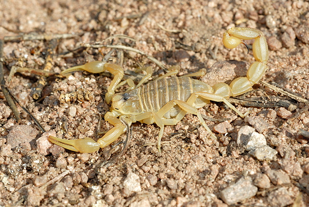 Yellow Scorpion on ground, Plaine des Maures France