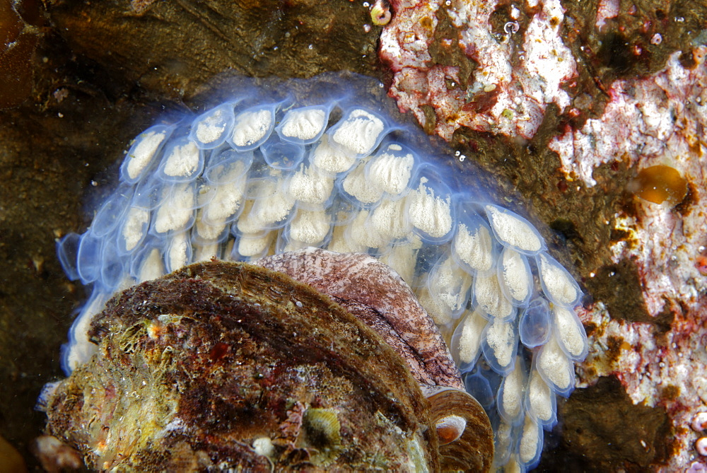 Oregon Triton eggs on reef, Alaska Pacific Ocean