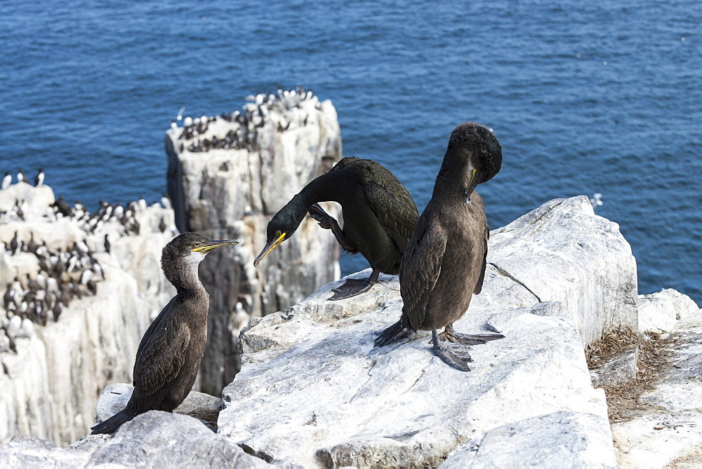 European Shags grooming on cliff, British Isles
