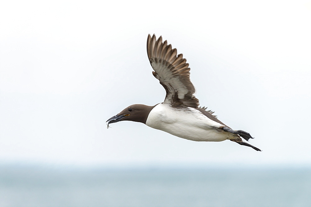 Common Guillemot in flight with prey, British Isles