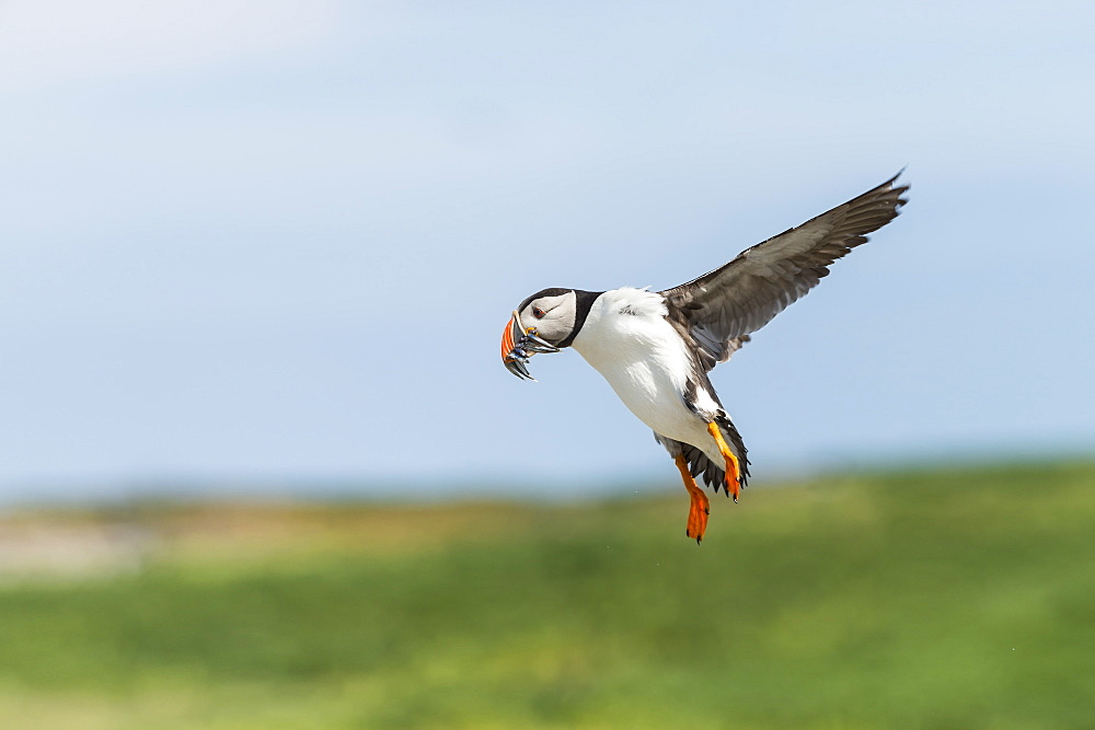 Atlantic Puffin landing with prey, British Isles