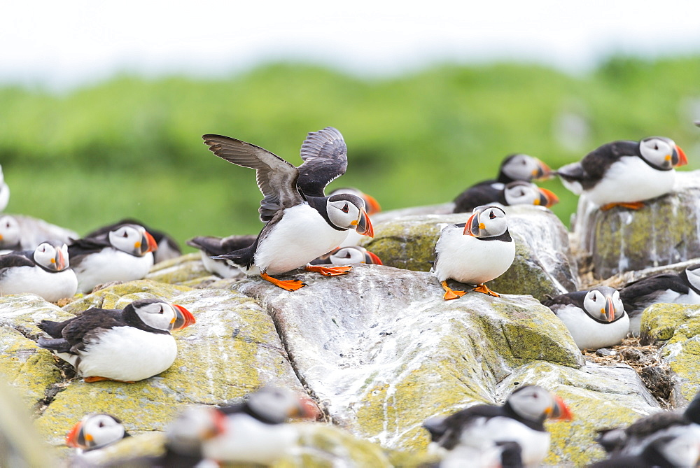Atlantic Puffins on cliff, British Isles