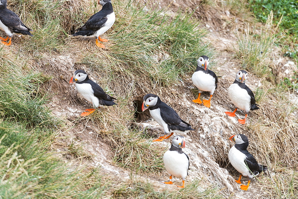 Atlantic Puffins nesting on cliff, British Isles
