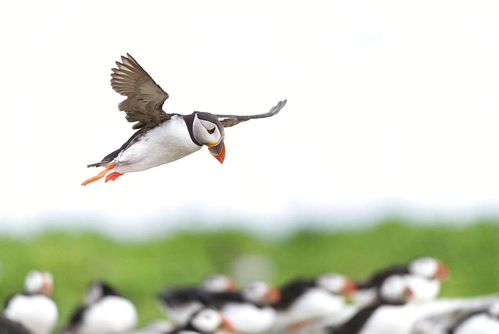 Atlantic Puffins flying, British Isles