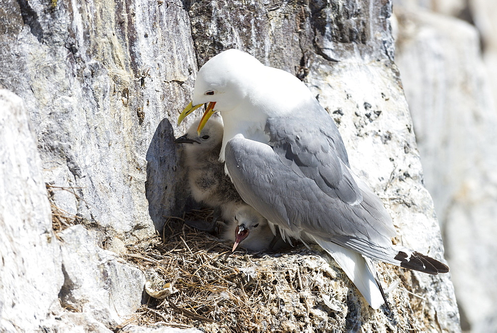 Kittiwake and nestlings, British Isles
