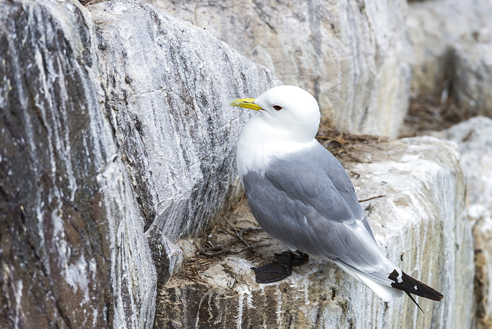 Kittiwake on cliff, British Isles