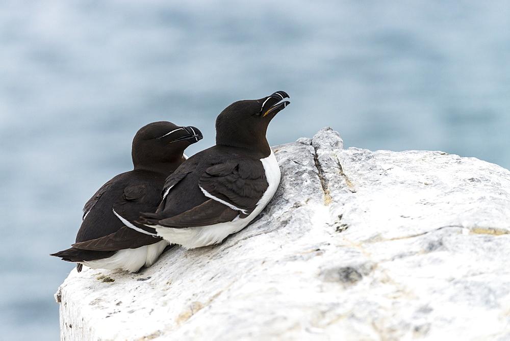 Razorbills lying on cliff, British Isles
