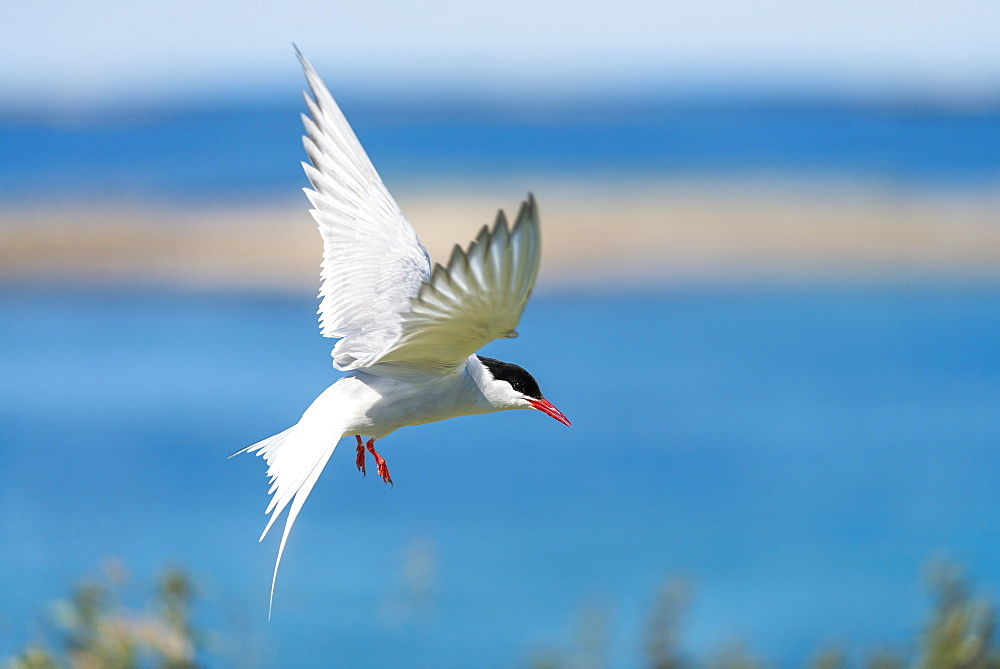Arctic Tern in flight, British Isles