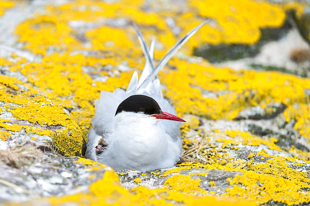 Arctic tern incubating on rock, British Isles