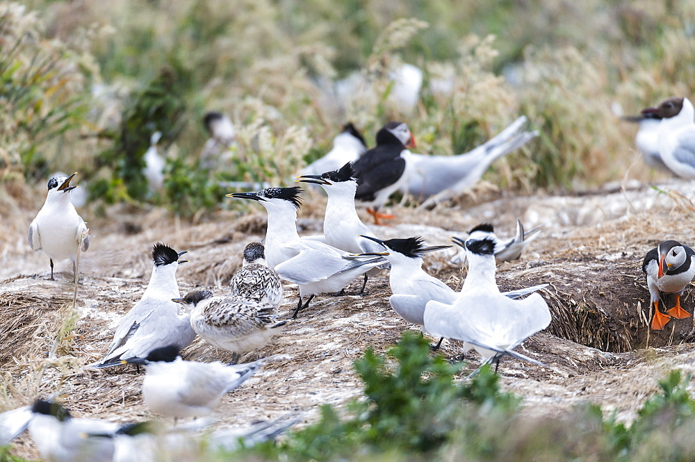 Sandwich Terns and Puffins in flight, British Isles
