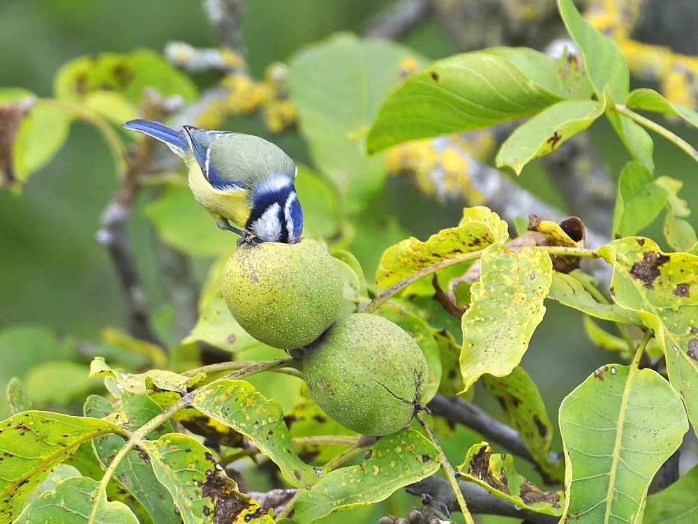 Blue Tit eating a nut, France