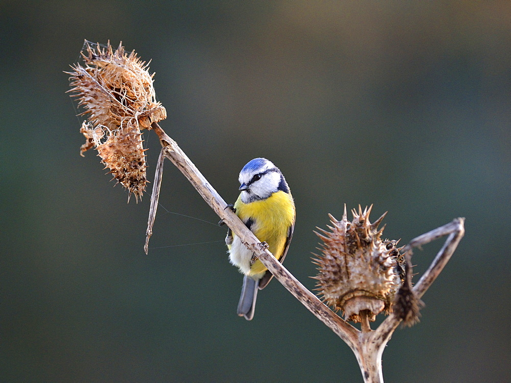 Blue Tit on dry thistle, France