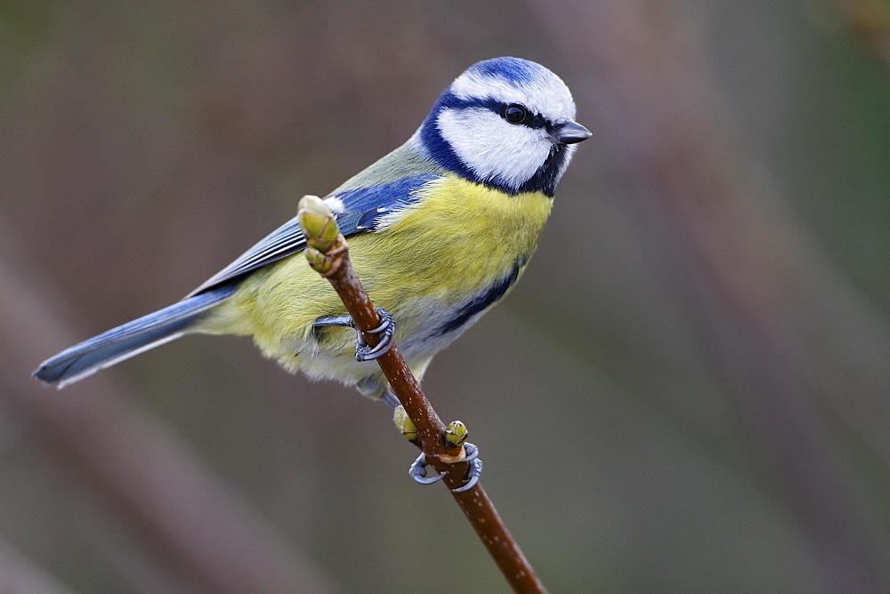 Blue tit on Italian Maple, France