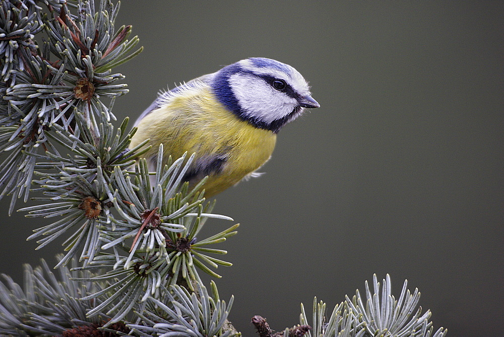Blue tit on Blue Atlas Cedar, France