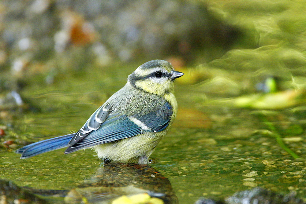Blue Tit in a glade creek, France