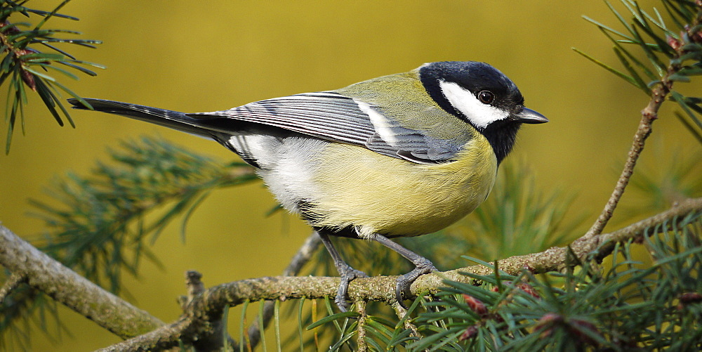 Great Tit on a branch of Douglas Fir, France