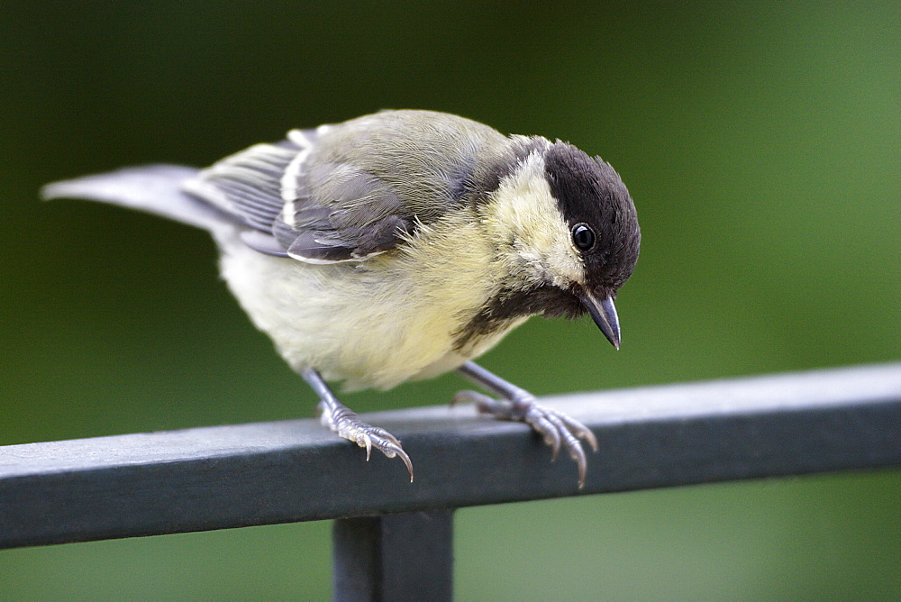 Great Tit on a railing, France