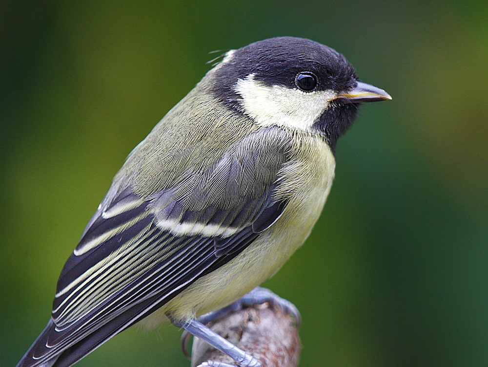 Great Tit on a branch, France