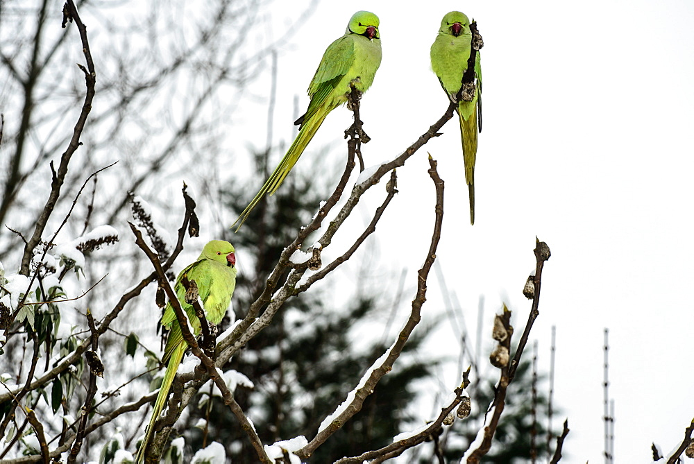 Ring-necked parakeets on a branch in winter, France