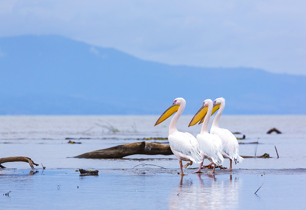 White pelicans on Lake Chamo, Ethiopia