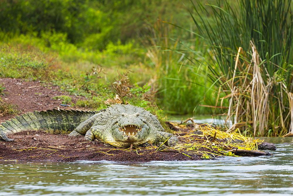 Nile Crocodile on bank, Lake Chamo Ethiopia