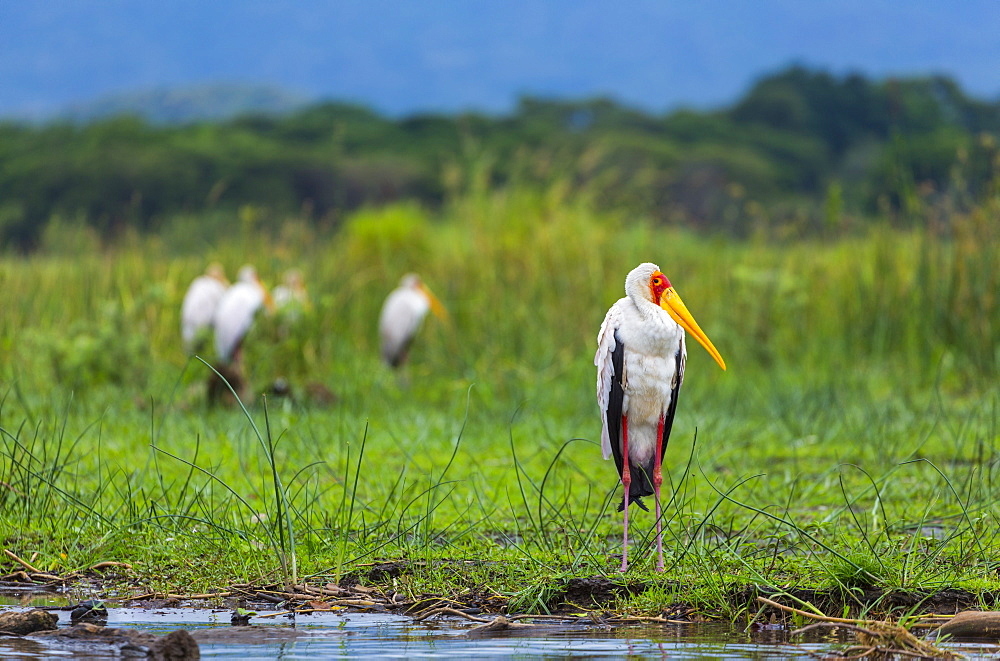 Yellow-billed Storks on bank, Lake Chamo Ethiopia