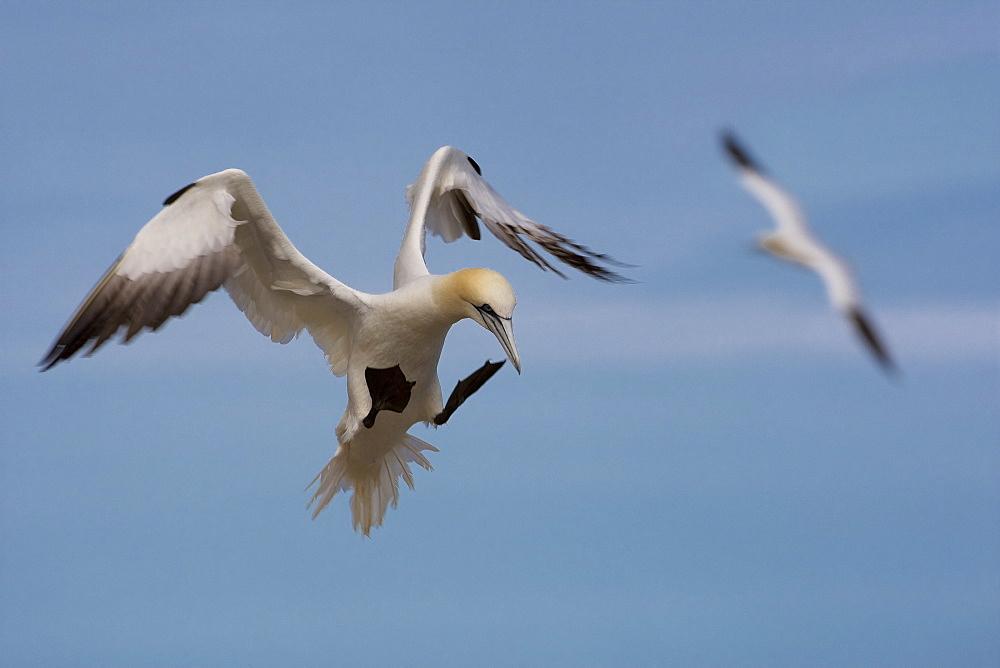 Gannet landing, Quebec Canada