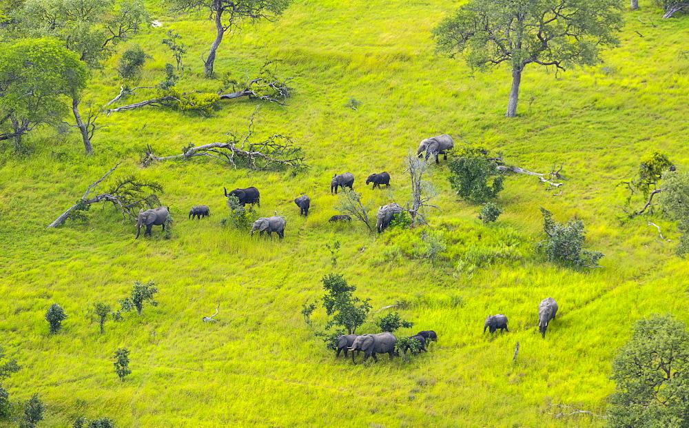 African Elephants in the plain, Okavango Delta Botswana